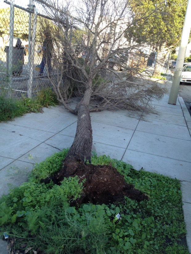 A tree near 16th and Folsom streets fell after the storms on Sunday.