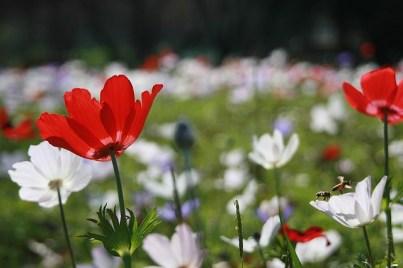 anemone-1169735_640
