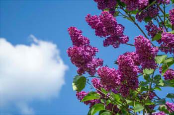 lilac-1388606_640