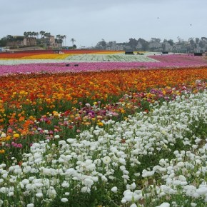 Visit the Flower Fields in Carlsbad