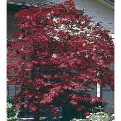 Small Of Purple Ghost Japanese Maple