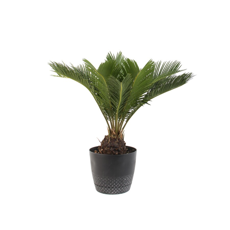 Supple Sago Palm Potted Shop House Plants At Lowes Truck Runs Red Light Cape Girardeau Mo Lowes Hardware Cape Girardeau Mo Display Product Reviews houzz-03 Lowes Cape Girardeau Mo