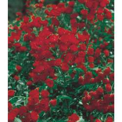 Small Crop Of Lady Banks Rose