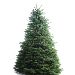 Small Crop Of Fresh Cut Christmas Trees