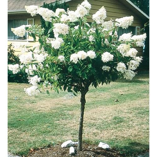 Medium Of Limelight Hydrangea Tree