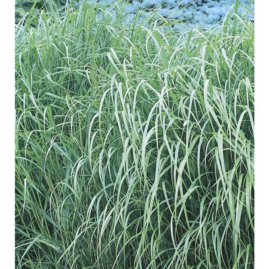Snazzy Switch Grass Shop Switch Grass At Shenandoah Switchgrass Seed Shenandoah Switch Grass Native houzz-03 Shenandoah Switch Grass