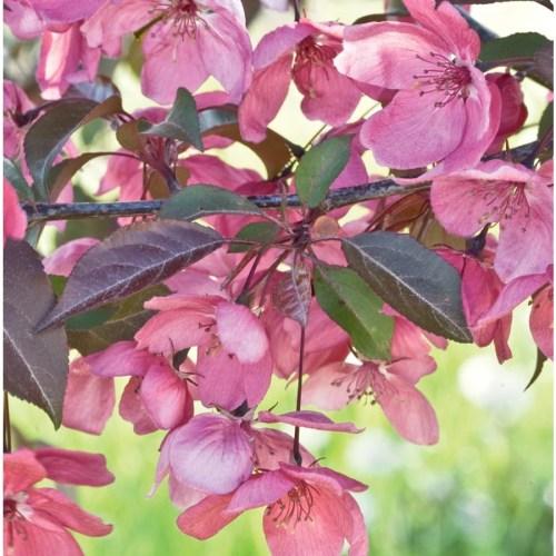 Medium Crop Of Purple Flowering Tree