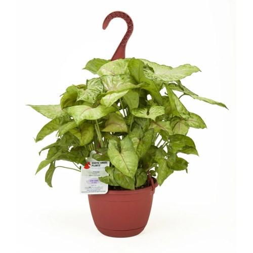 Medium Crop Of Exotic Angel Plants