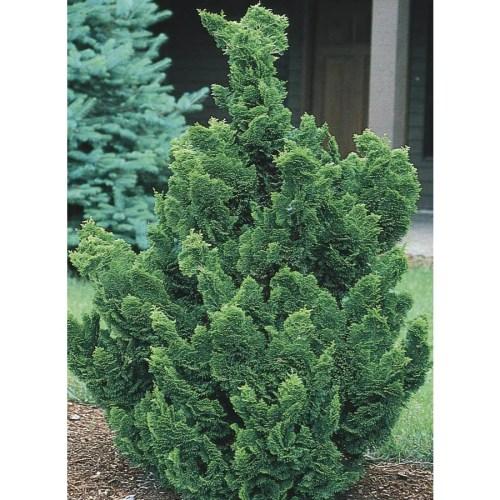 Medium Crop Of Slender Hinoki Cypress