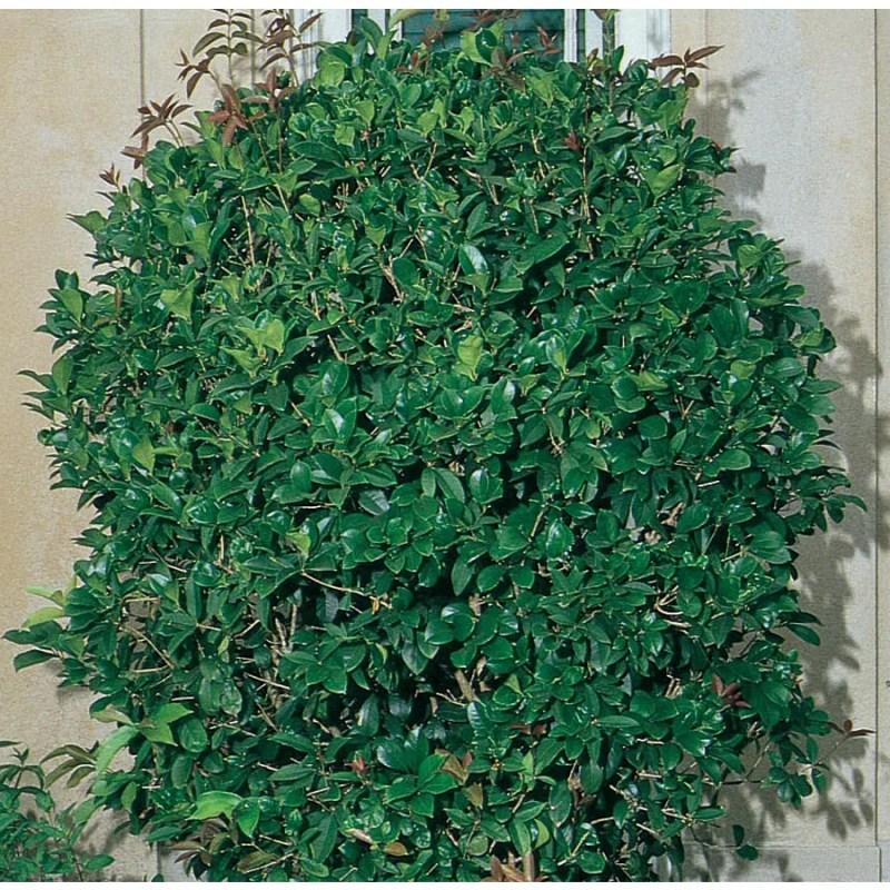 Large Of Tea Olive Tree