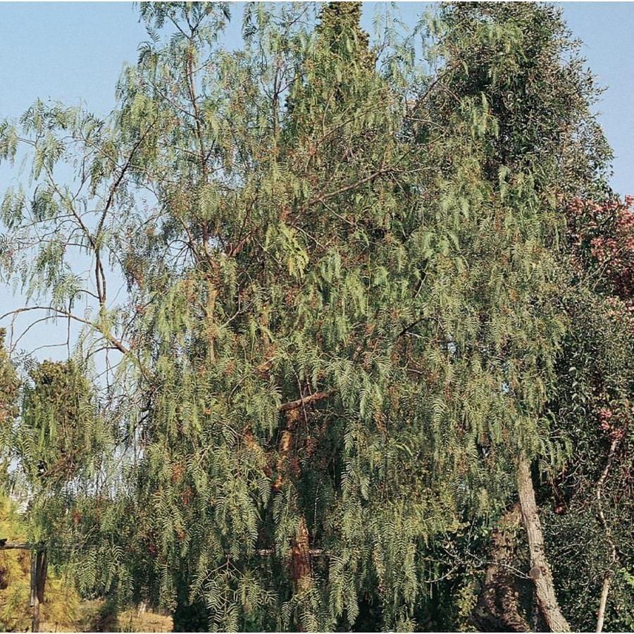 Beauteous California Pepper Shade Tree Shop California Pepper Shade Tree At California Pepper Tree Invasive California Pepper Tree Bonsai houzz 01 California Pepper Tree