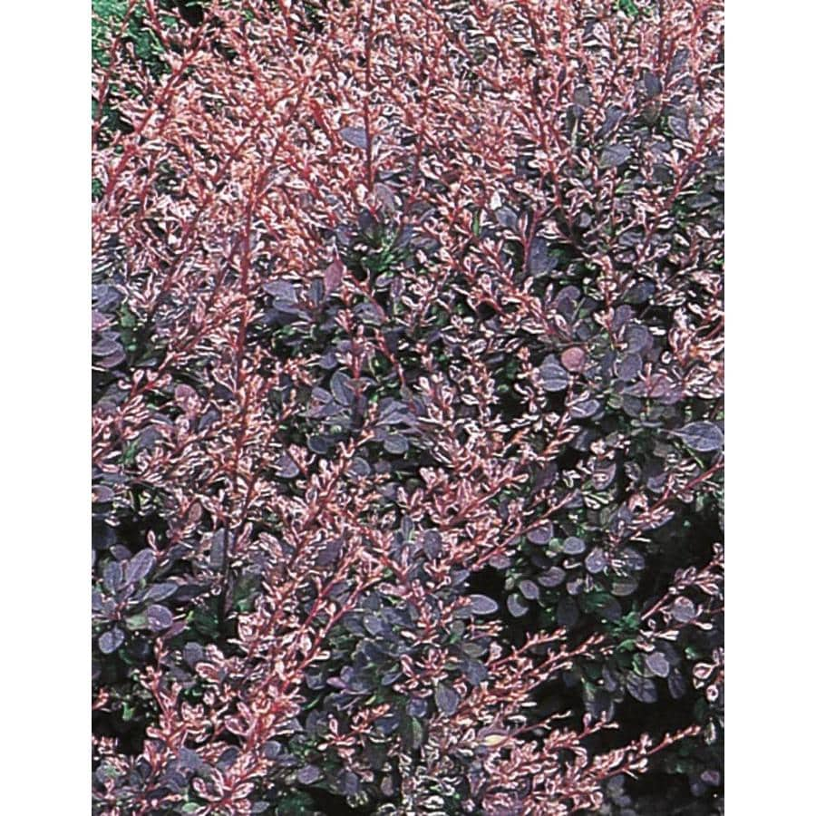 Prodigious Rose Glow Barberry Accent Shrub Shop Rose Glow Barberry Accent Shrub At Rose Glow Barberry Height Rose Glow Barberry Deer Resistant houzz 01 Rose Glow Barberry
