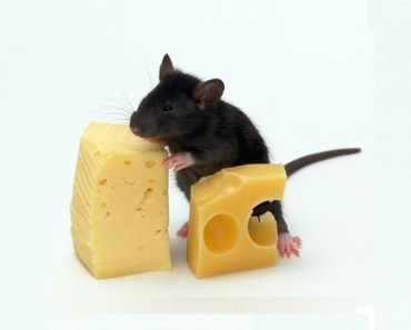 Mice eat cheese