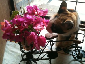 pet-cat-pepo-flower-bougenvilla