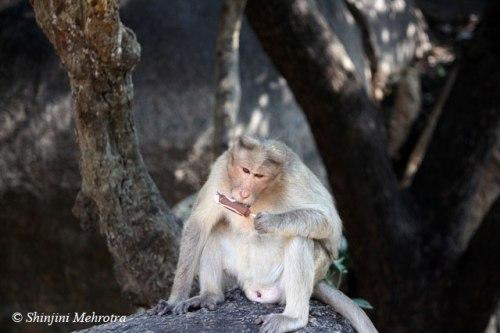 Monkey_eating_ice_cream