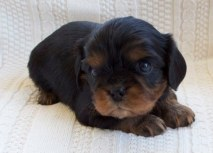 Black & Tan Cavalier King Charles Spaniel Puppies