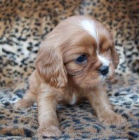 Ruby Cavalier King Charles Spaniel Puppies