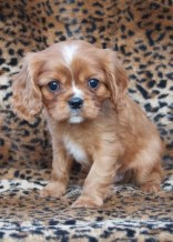 Ruby Cavalier King Charles Spaniel Puppy