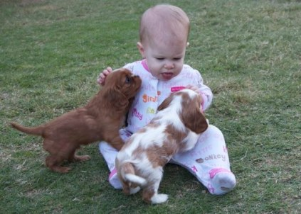 Cavalier King Charles Spaniel Puppies playing with Baby