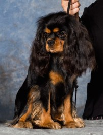 Black & Tan Cavalier King Charles Spaniel