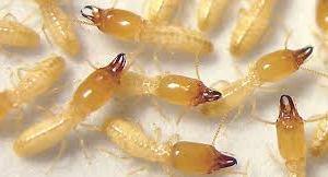 شركة-مكافحة-النمل-الابيض-بالقطيف