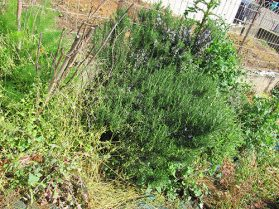 Rosemary & wild fennel