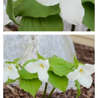 The trillium wildflower