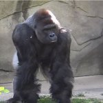 harambe-petition-mort-zoo