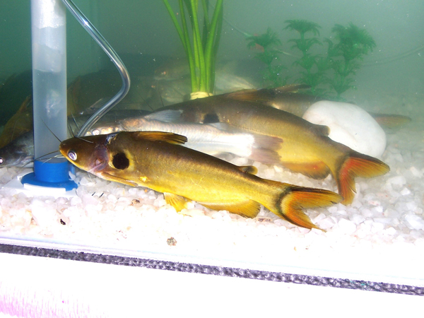 Indian Freshwater Fishes