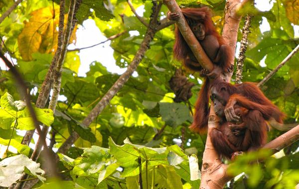 taman nasional kutai habitat orangutan yang rentan perambahan foto pur