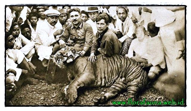 tak jauh beda dengan ancaman yang menimpa harimau sumatera satu satunya jenis