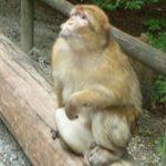 Monkey Mountain (Affenberg) in Germany