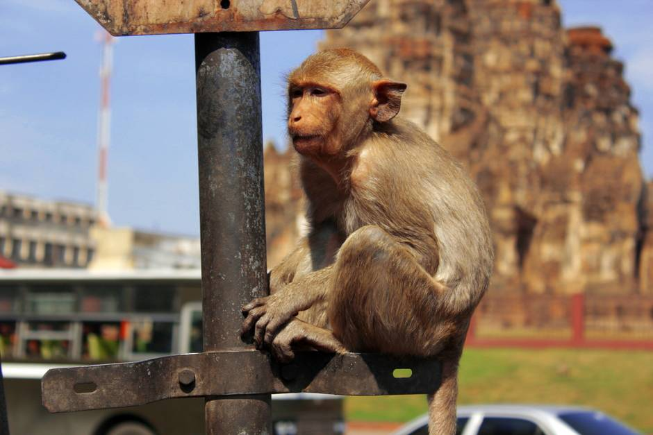 Crab-eating Macaque Monkey in Lopburi, Thailand