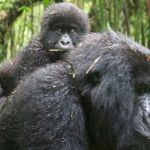 Mountain Gorilla Mother and Baby Photo