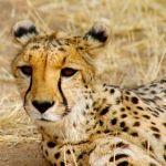 Namibia: Das Land der Geparden