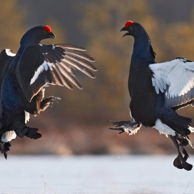 Black grouse. Photo by Jari Peltomäki.