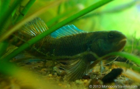 One of my Rainbow Darters