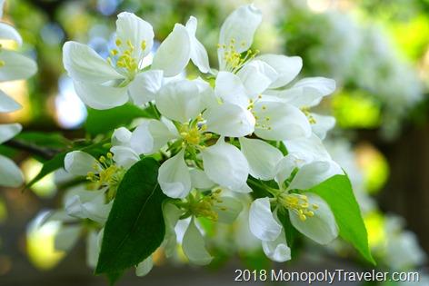 Crabapple in full bloom