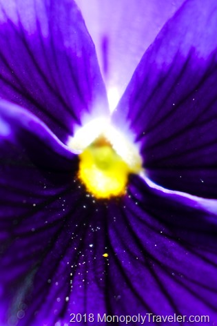 Abstract close up of a purple pansy