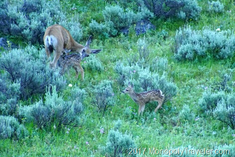 A black tail deer with her two fawns