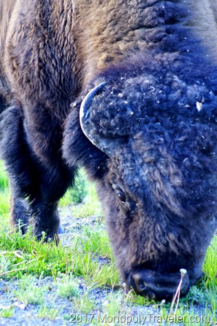 Face to face with an Amercian Bison