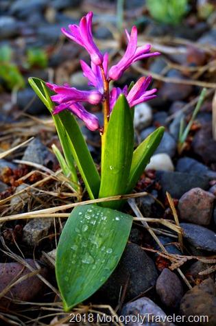 Hyacinth beginning to bloom