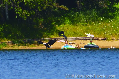 Eagle fishing near young swimmers