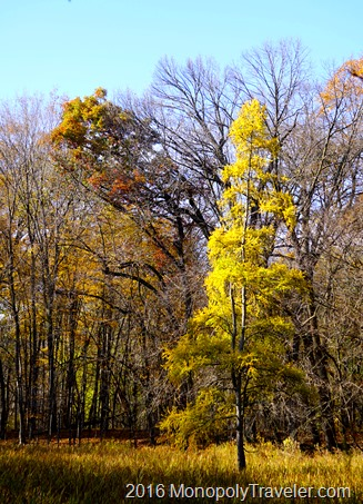 The golden glow of a Tamarack among the sparsly covered oaks and maples