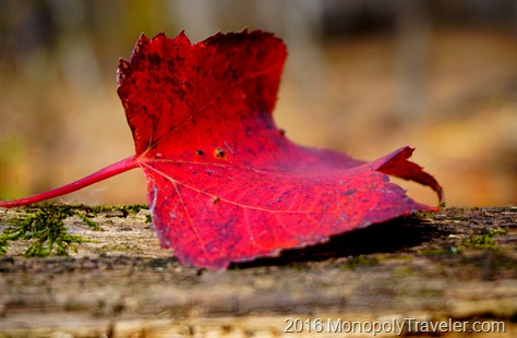 A vibrant fallen maple leaf ready to join the others laying on the forest floor