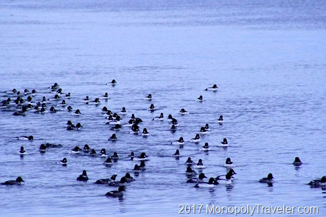 Enjoying hundreds of Goldeneye ducks
