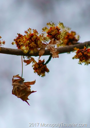Silver Maple beginning to bloom