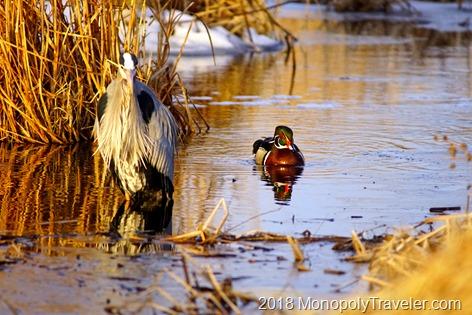 Heron fishing while a wood duck drake looks on