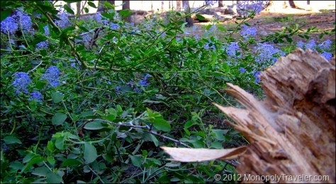 Blue Flowering Shrub