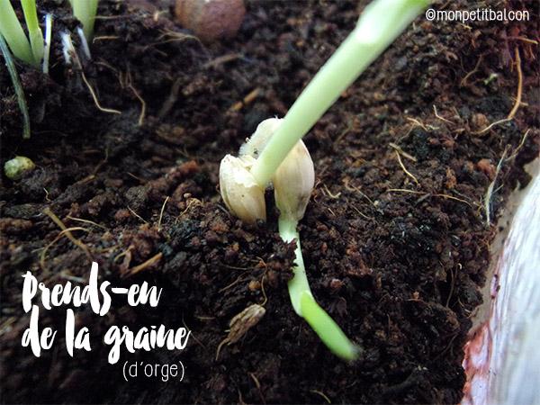 jour 19 - semer des engrais verts (moutarde, orge et petit pois) sur un potager de balcon)